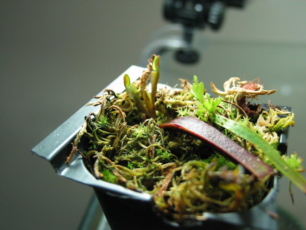 sinek kapan yapraktan çoğaltma