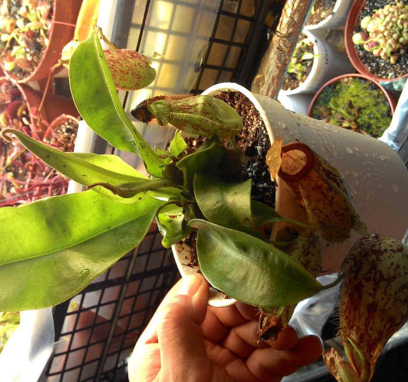 Nepenthes-Hookerina-Satin-Al.jpg