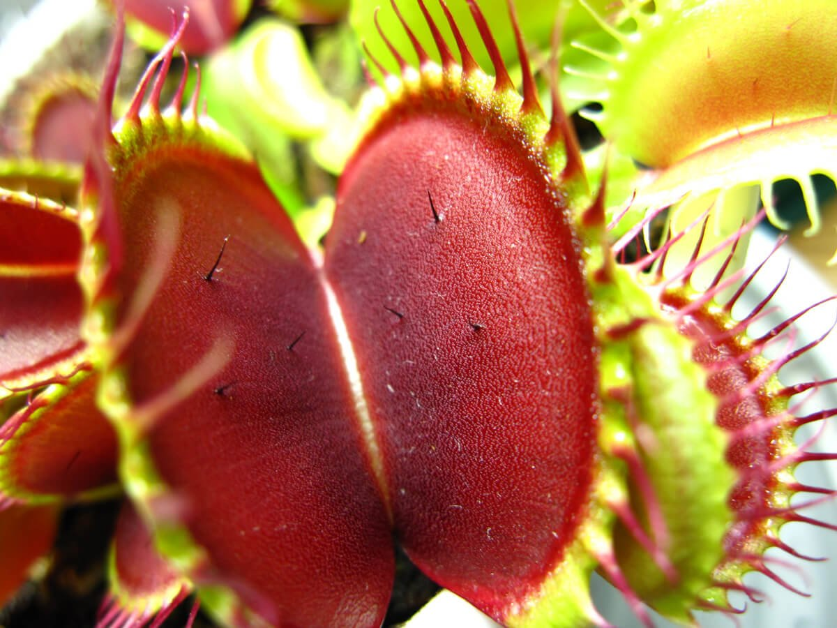dionaea red green