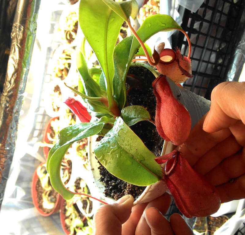 nepenthes-bloody-mary-satin-al.jpg