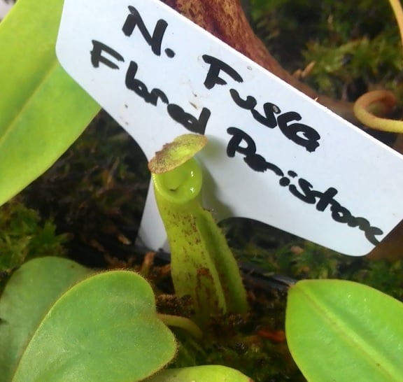 Nepenthes-Fusca-Flared-Flame.jpg