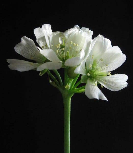 sinek kapan çiçeği