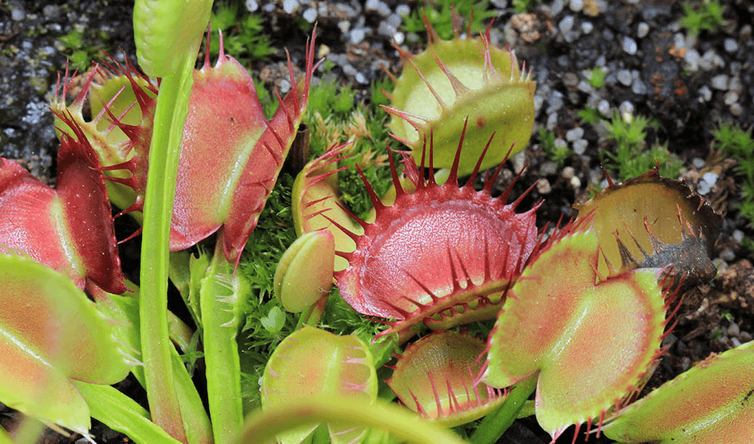 venus fly trap cross teeth foto