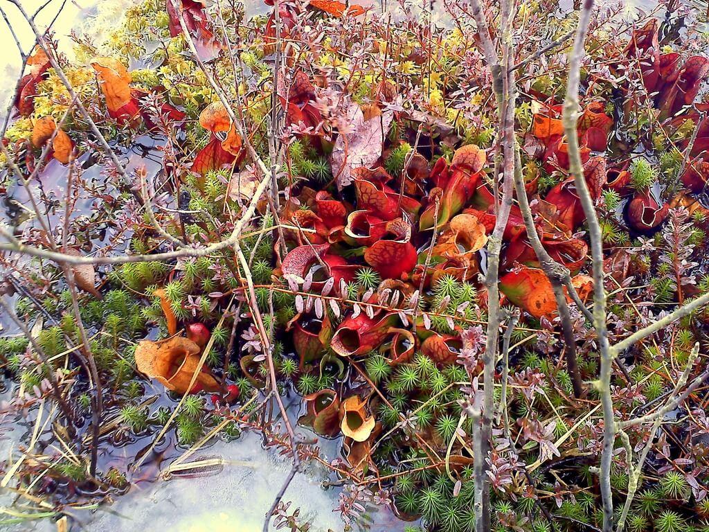 etobur bitki habitat