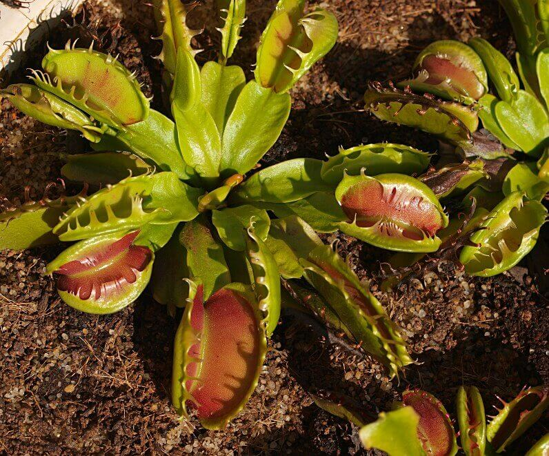 fused tooth venus fly trap fotoğraf