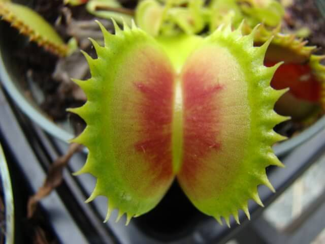 jaws venus fly trap