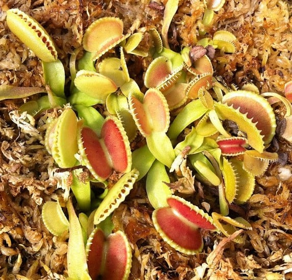 venus fly trap Coquillage foto